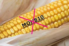 NON aux OGM : le Glyphosate est de retour