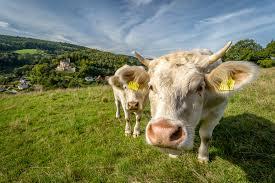 Les eurodéputés prêts à accepter plus de bœuf américain en Europe : un très mauvais signal !