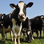 CETA : Des hormones dans vos assiettes