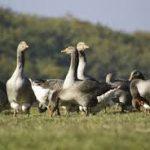 Feuille de route – Grippe aviaire : le gouvernement est-il vacciné contre le bon sens ?