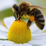 Le match « abeilles / lobby des pesticides » se jouera ce mercredi au Parlement européen