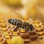 Tribune : Protection des abeilles: «La Commission européenne est engagée dans une reculade sidérante»