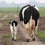 L'Europe sur le point de céder face aux États-Unis en sacrifiant son agriculture, ses éleveurs et ses principes